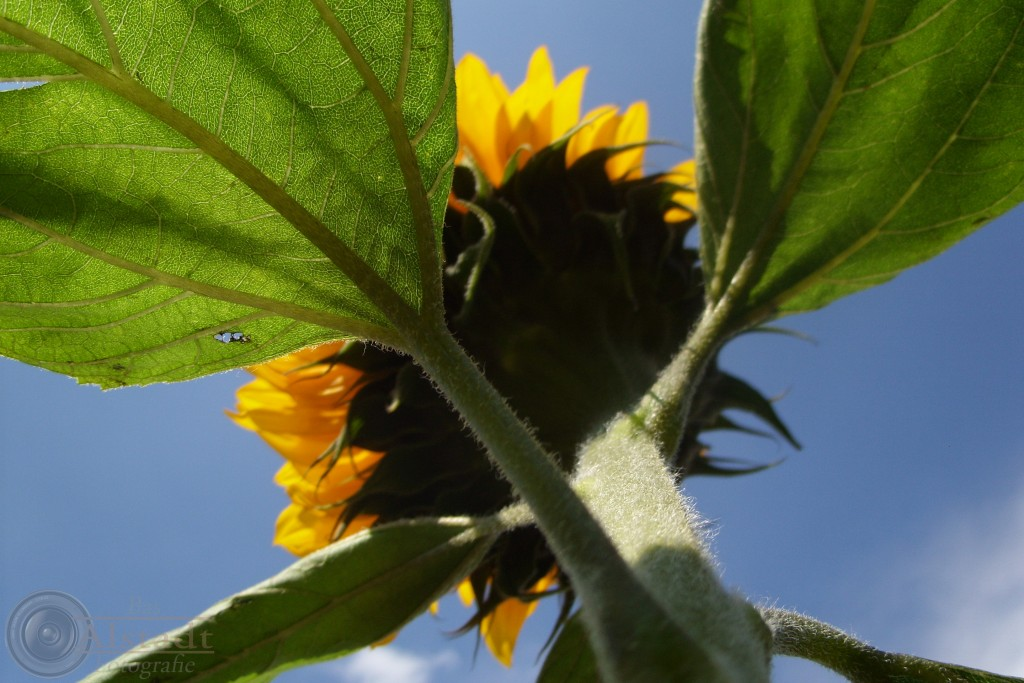 Sunflower to the sky