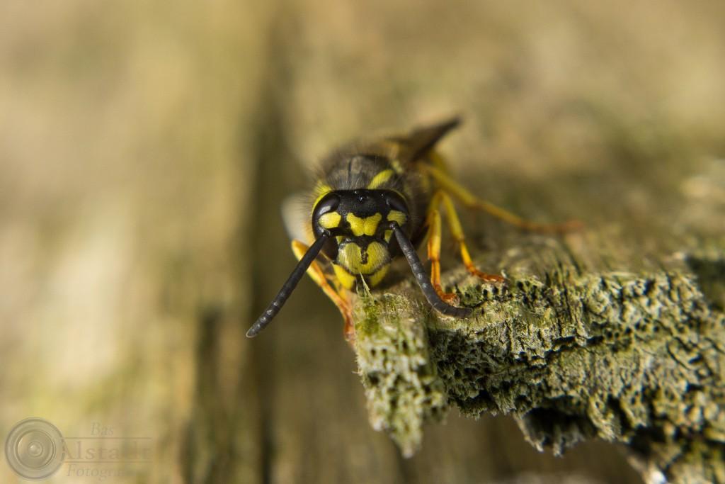 Duitse wesp (Vespula germanica)